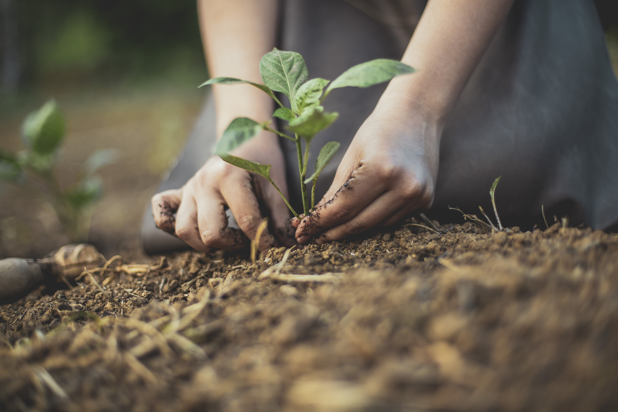 Close up of someone's hands planting a tree in the soil